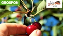ORANGE, NSW Enjoy a Day of Countryside Charm with a Cherry Picking Tour with Ozia Tours! Incl. Wine Tasting, Blue Mountain Echo Point Stop & More