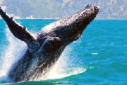 Have a Whale of a Time w/ a 4-Hr Whale Watching Cruise w/ Buffet Breakfast or BBQ Lunch! See Adult & Baby Humpback Whales at Play. Upgrade for Weekend
