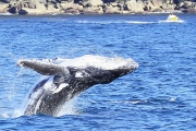 Have a Whale of a Time w/ a 2.5-Hour Whale Watching Cruise from Go Whale Watching Sydney! Enjoy Morning or Afternoon Treats, w/ Tea or Coffee Incl.