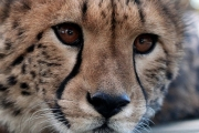 Take a Walk on the Wild Side & Meet a Cheetah @ Canberra's National Zoo & Aquarium! Upgrade for Two People or to Add Overnight Accommodation