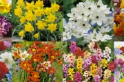 Mary, Mary, Quite Contrary, How Does Your Garden Grow? Get 150 Flowering Bulbs Delivered to Your Door from Garden Express, Aus's Largest Online Nursery