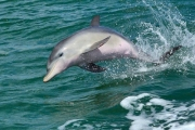 Enjoy the Company of Wild Bottlenose Dolphins w/ a 90-min Scenic Cruise of Mandurah! Cruise Venetian & Port Mandurah Canals Lined w/ Luxury Houses!