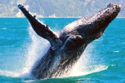 It's Whale Season! Don't Miss Your Chance to See the Migration of Majestic Humpback Whales! 4-Hour Cruise Incl. Hot Buffet Breakfast or BBQ Lunch